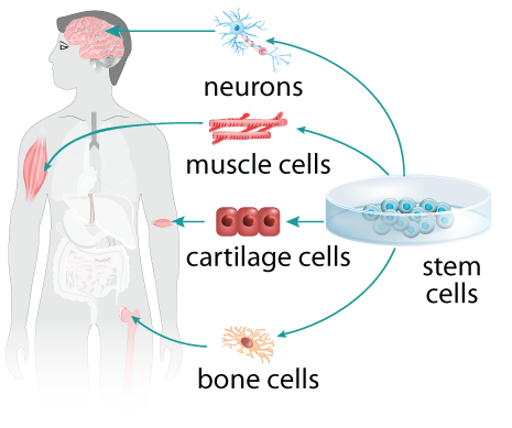stem cell transformation